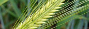 barley-1498412_1920